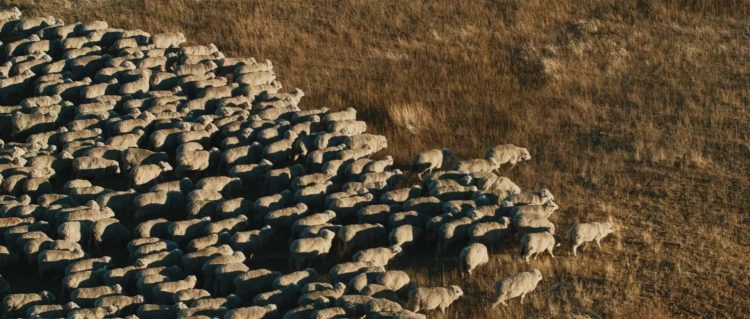 "A flock of sheep crosses the frame in Patagonia - Still frame from the documentary ""Land of The Wind"""