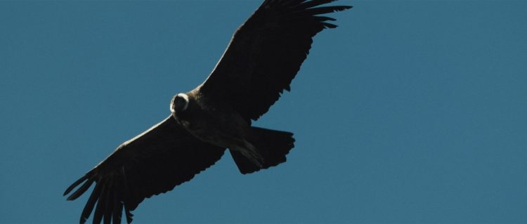 "A condor flying high over the Patagonian sky - Still frame from the documentary ""Land of The Wind"""