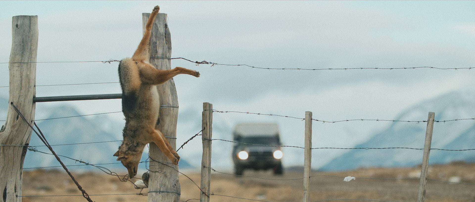 "A dead fox hangs from a fence post in the wild lands of Patagonia - Still frame from the documentary ""Land of The Wind"""